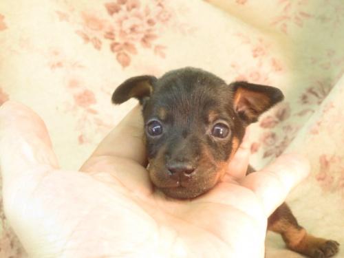 ミニチュアピンシャーの子犬(ID:1267711023)の3枚目の写真/更新日:2018-09-22