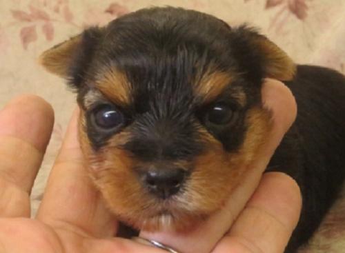 ヨークシャーテリアの子犬(ID:1267711027)の1枚目の写真/更新日:2019-08-06