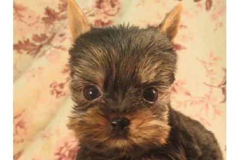 ヨークシャーテリアの子犬(ID:1267711028)の1枚目の写真/更新日:2017-06-07