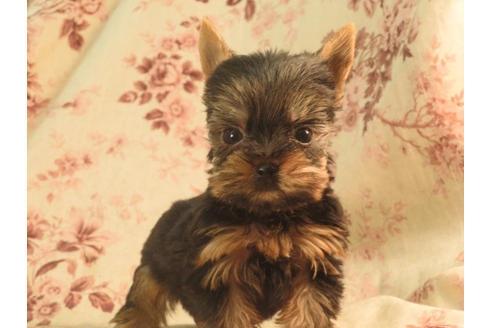 ヨークシャーテリアの子犬(ID:1267711028)の2枚目の写真/更新日:2018-07-13
