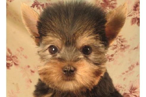 ヨークシャーテリアの子犬(ID:1267711029)の1枚目の写真/更新日:2018-07-13