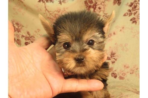 ヨークシャーテリアの子犬(ID:1267711029)の3枚目の写真/更新日:2017-07-17
