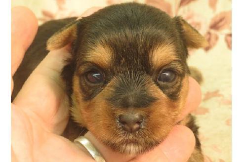 ヨークシャーテリアの子犬(ID:1267711034)の1枚目の写真/更新日:2017-07-04