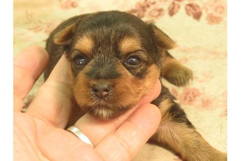 ヨークシャーテリアの子犬(ID:1267711034)の2枚目の写真/更新日:2018-07-02