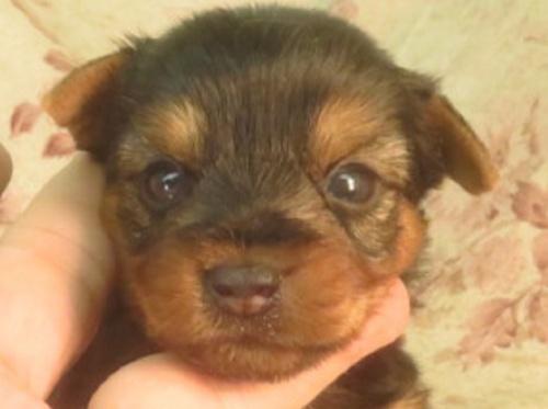 ヨークシャーテリアの子犬(ID:1267711036)の1枚目の写真/更新日:2017-07-17