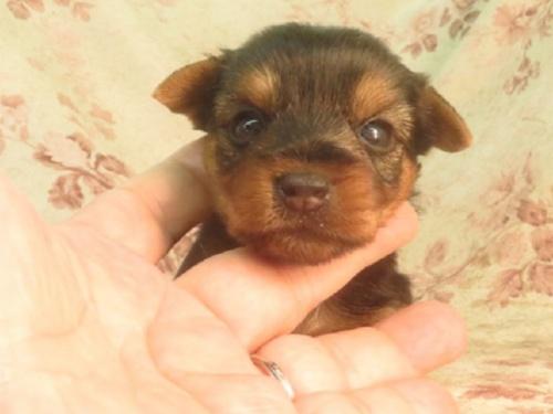 ヨークシャーテリアの子犬(ID:1267711036)の3枚目の写真/更新日:2017-07-17