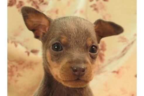 ミニチュアピンシャーの子犬(ID:1267711040)の1枚目の写真/更新日:2018-08-17
