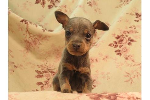 ミニチュアピンシャーの子犬(ID:1267711040)の2枚目の写真/更新日:2018-08-17