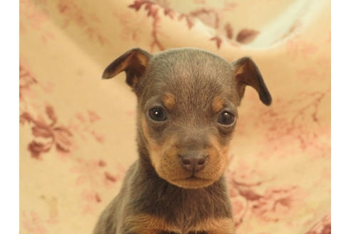 ミニチュアピンシャーの子犬(ID:1267711040)の3枚目の写真/更新日:2018-08-17