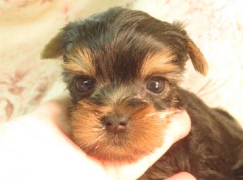 ミニチュアピンシャーの子犬(ID:1267711042)の1枚目の写真/更新日:2018-09-22