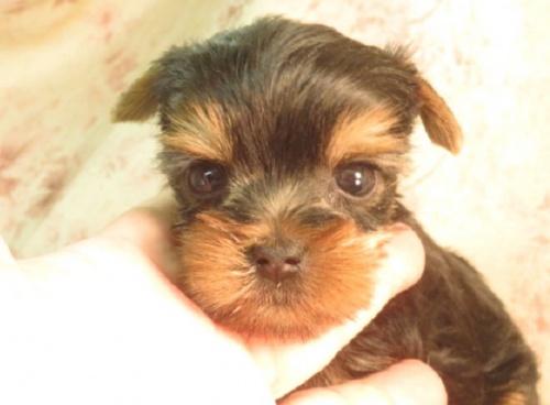 ミニチュアピンシャーの子犬(ID:1267711042)の2枚目の写真/更新日:2018-09-22