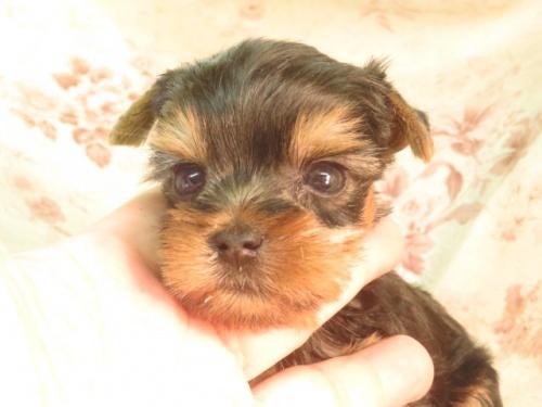 ミニチュアピンシャーの子犬(ID:1267711042)の3枚目の写真/更新日:2018-09-22