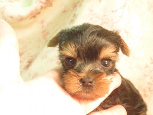 ミニチュアピンシャーの子犬(ID:1267711042)の4枚目の写真/更新日:2017-07-17