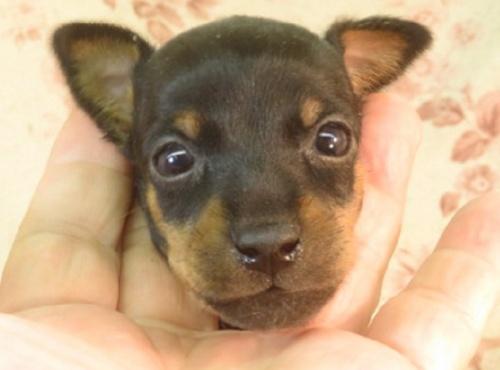 ミニチュアピンシャーの子犬(ID:1267711043)の1枚目の写真/更新日:2021-04-19