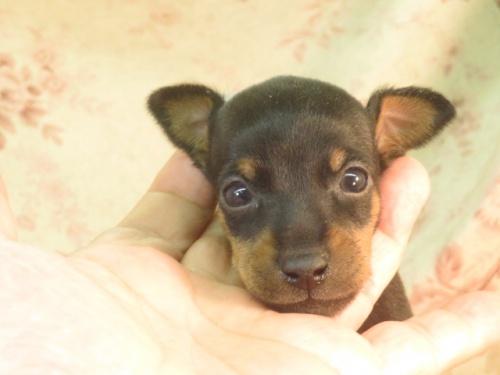 ミニチュアピンシャーの子犬(ID:1267711043)の3枚目の写真/更新日:2021-04-19