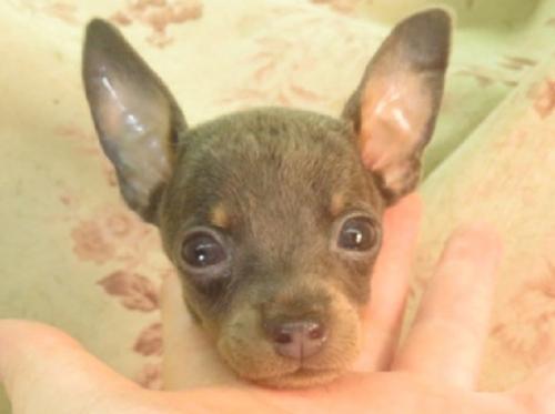ミニチュアピンシャーの子犬(ID:1267711044)の1枚目の写真/更新日:2018-10-17