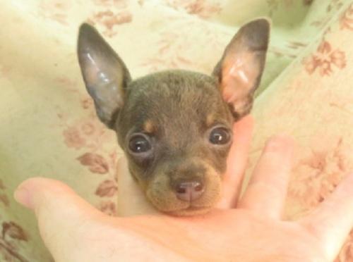 ミニチュアピンシャーの子犬(ID:1267711044)の4枚目の写真/更新日:2021-10-25