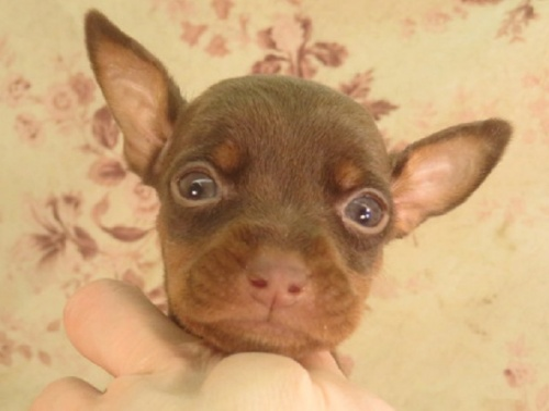 ミニチュアピンシャーの子犬(ID:1267711045)の1枚目の写真/更新日:2021-10-05