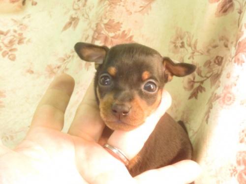 ミニチュアピンシャーの子犬(ID:1267711045)の3枚目の写真/更新日:2018-09-28