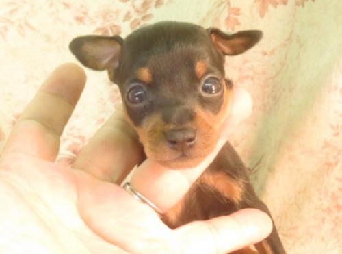 ミニチュアピンシャーの子犬(ID:1267711045)の4枚目の写真/更新日:2018-09-28