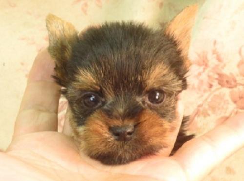 ヨークシャーテリアの子犬(ID:1267711046)の1枚目の写真/更新日:2018-11-29