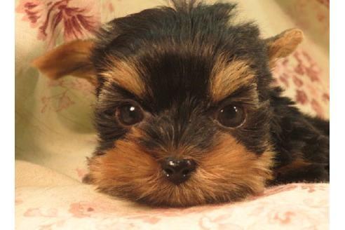 ヨークシャーテリアの子犬(ID:1267711050)の1枚目の写真/更新日:2018-12-10