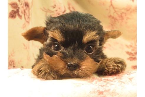 ヨークシャーテリアの子犬(ID:1267711050)の2枚目の写真/更新日:2018-12-10