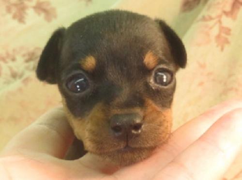 ミニチュアピンシャーの子犬(ID:1267711053)の1枚目の写真/更新日:2017-08-07