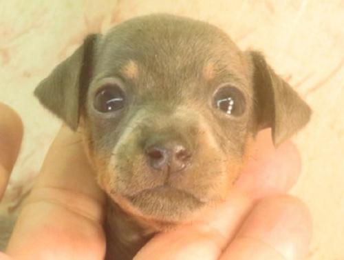 ミニチュアピンシャーの子犬(ID:1267711055)の1枚目の写真/更新日:2018-10-17