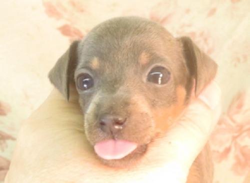 ミニチュアピンシャーの子犬(ID:1267711055)の2枚目の写真/更新日:2018-10-17