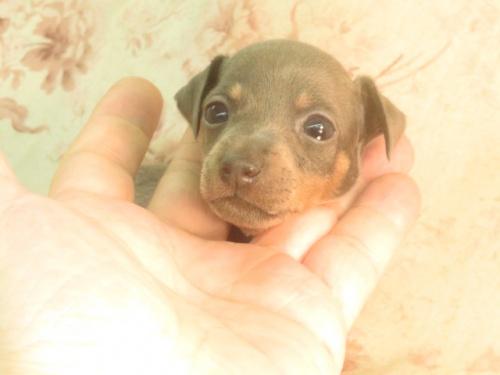 ミニチュアピンシャーの子犬(ID:1267711055)の3枚目の写真/更新日:2018-10-17