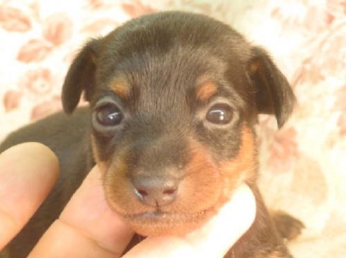 ミニチュアピンシャーの子犬(ID:1267711056)の1枚目の写真/更新日:2017-09-06