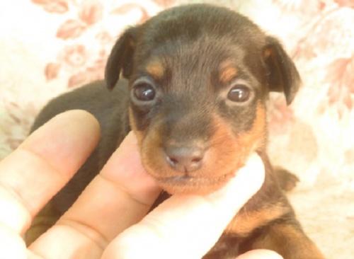 ミニチュアピンシャーの子犬(ID:1267711056)の3枚目の写真/更新日:2018-10-17