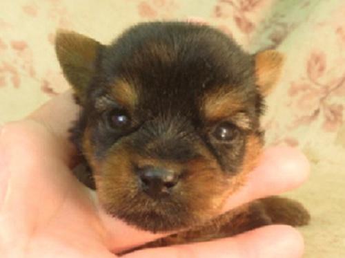 ヨークシャーテリアの子犬(ID:1267711059)の1枚目の写真/更新日:2017-08-29