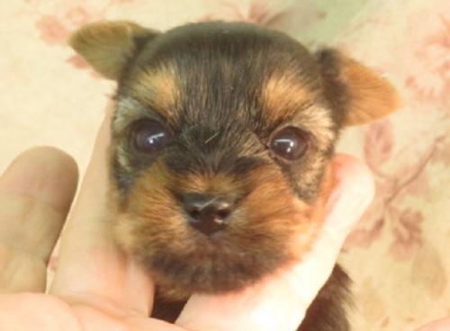ヨークシャーテリアの子犬(ID:1267711065)の1枚目の写真/更新日:2017-09-21