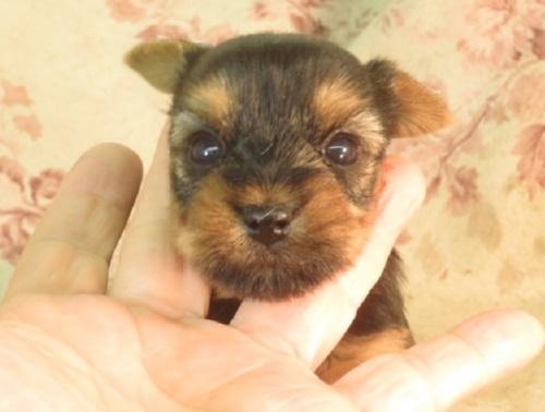 ヨークシャーテリアの子犬(ID:1267711065)の2枚目の写真/更新日:2017-09-21