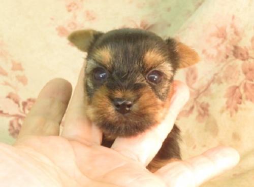 ヨークシャーテリアの子犬(ID:1267711065)の3枚目の写真/更新日:2017-09-21