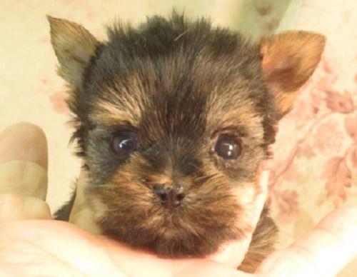 ヨークシャーテリアの子犬(ID:1267711066)の1枚目の写真/更新日:2017-09-21
