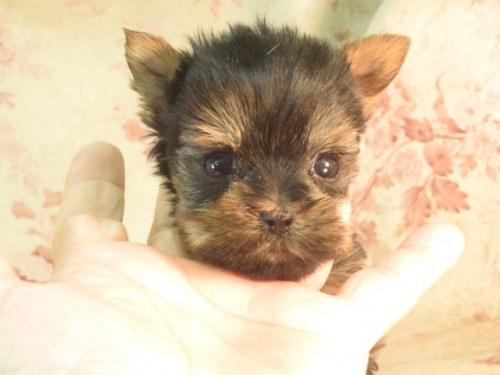 ヨークシャーテリアの子犬(ID:1267711066)の2枚目の写真/更新日:2017-09-21