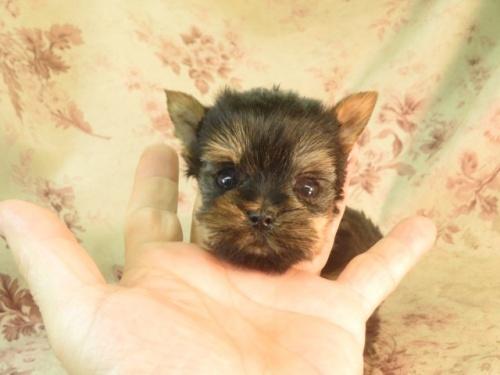 ヨークシャーテリアの子犬(ID:1267711066)の3枚目の写真/更新日:2017-09-21