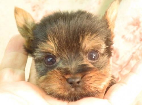 ヨークシャーテリアの子犬(ID:1267711067)の1枚目の写真/更新日:2017-09-21