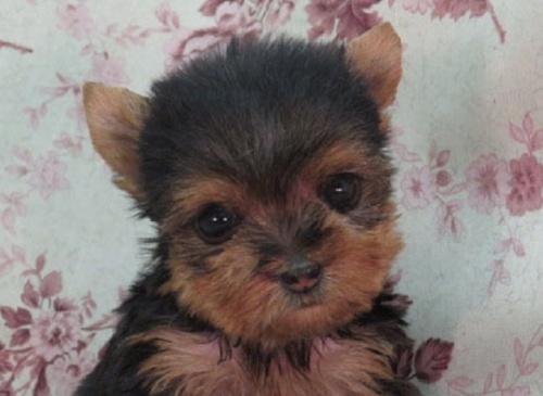 ヨークシャーテリアの子犬(ID:1267711068)の1枚目の写真/更新日:2017-11-22