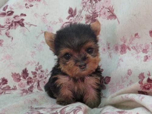 ヨークシャーテリアの子犬(ID:1267711068)の2枚目の写真/更新日:2017-11-22