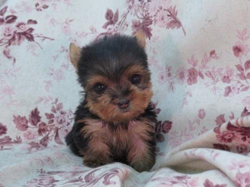 ヨークシャーテリアの子犬(ID:1267711068)の4枚目の写真/更新日:2017-11-22