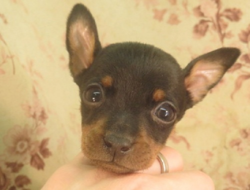ミニチュアピンシャーの子犬(ID:1267711069)の1枚目の写真/更新日:2018-08-17