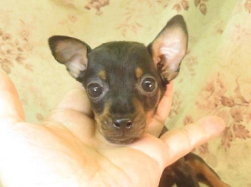 ミニチュアピンシャーの子犬(ID:1267711069)の2枚目の写真/更新日:2018-08-17