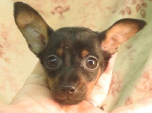 ミニチュアピンシャーの子犬(ID:1267711070)の1枚目の写真/更新日:2021-01-01