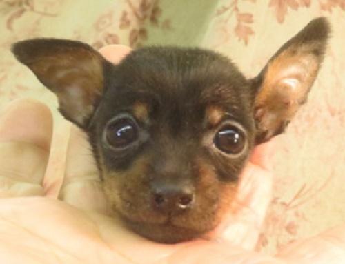 ミニチュアピンシャーの子犬(ID:1267711071)の1枚目の写真/更新日:2017-12-07