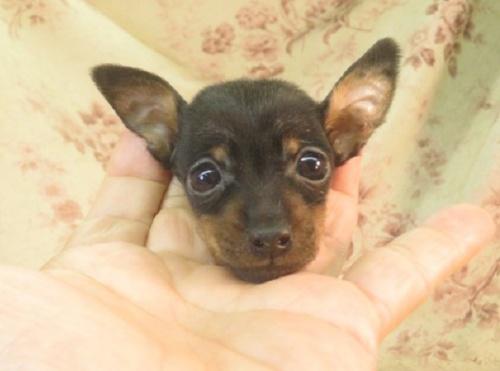 ミニチュアピンシャーの子犬(ID:1267711071)の2枚目の写真/更新日:2017-12-07