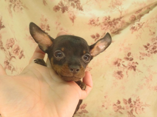 ミニチュアピンシャーの子犬(ID:1267711071)の3枚目の写真/更新日:2019-01-14